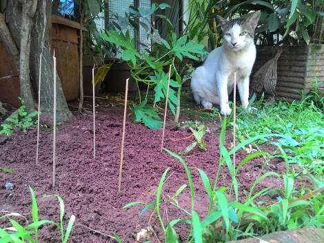 Kucing lokal berperan sebagai model. Pelaku aslinya, kucing arab palsu :mrgren: